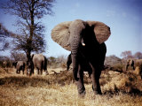 An African Elephant in the Wild, 1982 Photographic Print