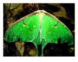 Luna Moth After A Rain Photographic Print by Stephanie Kellerman