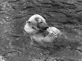 Hector the Polar Bear Drinking from a Bottle During the Summer of 1970 at Calderpark Zoo Photographic Print