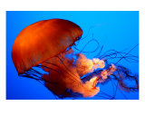 Jellyfish Photographic Print by Hilary Walker