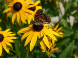 A Butterfly Lands on a Black-Eyed Susan Flower Photographic Print by Stephen St. John