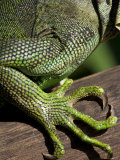 Belize, San Iguacio, Green Iguana Photographic Print by Jane Sweeney