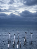 Pelicans, Caye Caulker, Belize Photographic Print by Russell Young