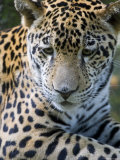 Wildlife in Belize, Jaguar Fotografiskt tryck av Jane Sweeney
