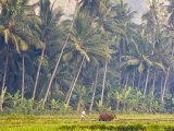 Man Ploughing, Candidasa, Eastern Bali, Indonesia Fotodruck von Peter Adams