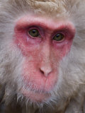 Japanese Macaque, Snow Monkey, Joshin-Etsu National Park, Honshu, Japan Photographic Print by Gavin Hellier