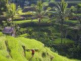 Man in Rice Fields, Nr Ubud, Bali, Indonesia Fotodruck von Peter Adams