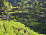 Man in Rice Fields, Nr Ubud, Bali, Indonesia Photographic Print by Peter Adams