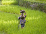 Man Carrying Firewood and Coconuts Through Rice Paddies, Bali, Indonesia Fotodruck von Peter Adams