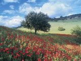 Poppies and Tree, Andalucia, Spain Fotodruck von Peter Adams