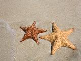 Panama, Bocas Del Toro Province, Colon Island Star Beach, Starfish Photographic Print by Jane Sweeney