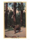 Big Bear Lake, California - A Brown Bear in the Woods Poster by  Lantern Press
