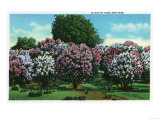 Rochester, New York - Highland Park Lilacs in Bloom Posters