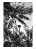 Hawaiian Islands View of Climbing Coconut Tree Photograph - Hawaii Art