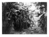 Lantern Press - Man Standing in Grove of Banana Trees Photograph - Cuba Reprodukce
