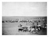 Cowboys with Cattle on the Range Photograph - Belle Fourche, SD Prints by  Lantern Press