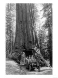 View of a Loaded Model-T Ford under Wawona Tree - Redwood National Park, CA Posters
