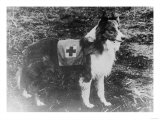 Red Cross Dog in Italy Photograph - Italy Posters