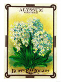 Alyssum Seed Packet Prints