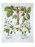 Three Varieties of Strawberry, Plate 116, from Hortus Eystettensis by Basil Besler Giclee Print