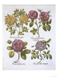 Roses, Plate 95 from Hortus Eystettensis by Basil Besler Giclee Print