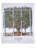 Ficus Indica Eystten from Hortus Eystettensis by Basil Besler Giclee Print