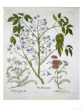 Persian Lilac or Pride of India, and Achillea Millefolium Giclee Print