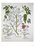 Persian Lilac or Pride of India, and Achillea Millefolium Giclee Print