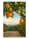 Bosco di arance con montagne sullo sfondo Stampe