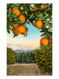 Orange Grove with Mountains in Background Prints