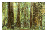 Redwoods, Muir Woods, California Posters