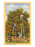 Picking Oranges in Florida Prints