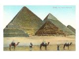 Giza Pyramids, Camels, Egypt Posters