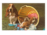 Bassett Hound Family in Laundry Basket Posters