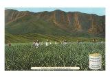 Pineapple Field, Oahus, Hawaii Prints
