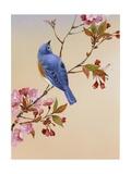 Pájaro azul sobre rama de cerezo en flor Pósters