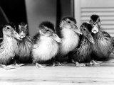 Six Ducklings Who were Abandoned by Their Mother, Being Given Swimming Lessons, July 1977 Photographic Print
