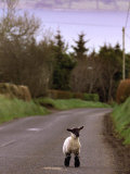 A Spring Lamb Walks in the Scenic Glens of Antrim in Cushendall, Northern Ireland Impressão fotográfica