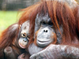 A Baby Orangutan Cuddles up Close to Her Mother at London Zoo, August 1991 Photographic Print