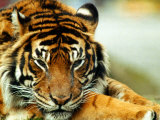A Relaxed Tiger at London Zoo, April 1991 Photographic Print