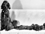 Wendy My Pride a Red Setter with a Litter of Eleven New Born Puppiesy London, December 1968 Photographic Print