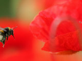 A Bumble Bee Hovers Over a Poppy Flower During a Summer Heat Wave in Santok, Poland, June 27, 2006 Photographic Print by Lech Muszynski