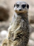 Jenny the Meerkat Shows Her New Babies How to Stand at London Zoo, June 2005 Fotografisk tryk