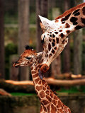Baby Giraffe Being Licked by Mother, Edinburgh Zoo, January 1998 Photographic Print