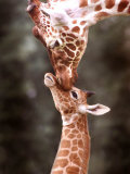 A Three Week Old Baby Giraffe with Its Mother at Whipsnade Zoo Fotografiskt tryck