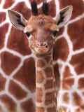 A Three Week Old Baby Giraffe at Whipsnade Wild Animal Park Pictured in Front of Its Mother Fotografie-Druck