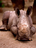 Otze the Rhinocerous Born at Edinburgh Zoo, June 1998 Photographic Print