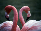 Flamingoes at Western Underwood Zoo, December 1979 Photographic Print