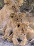 Lioness and Cubs, Okavango Delta, Botswana Fotografie-Druck von Pete Oxford