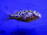 Pet Idol, Matt Junior, the Puffer Fish Owned by Matt Milburn of Gosport, June 2005 Photographic Print